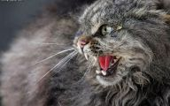 Funny Angry Cats 17 Free Hd Wallpaper