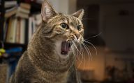 Funny Angry Cats 34 Desktop Wallpaper