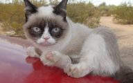 Funny Angry Cats 40 Background Wallpaper