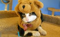 Funny Costumes For Cats 31 Free Hd Wallpaper