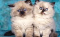 Funny Cute Cats  11 Wide Wallpaper