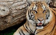 Funny Big Cats 31 Free Hd Wallpaper