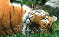 Funny Big Cats 6 Widescreen Wallpaper