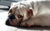 Funny Bull Dog 20 Cool Hd Wallpaper