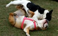 Funny Bull Dog 32 Cool Hd Wallpaper
