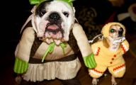 Funny Bull Dog 42 Hd Wallpaper