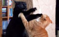Funny Cat Fight 17 Hd Wallpaper