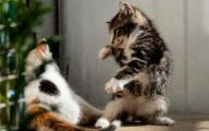 Funny Cat Fight 37 Desktop Background