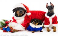 Funny Christmas Dogs 21 Free Hd Wallpaper