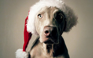 Funny Christmas Dogs 28 Desktop Background
