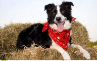 Funny Dog Bandanas 1 Wide Wallpaper