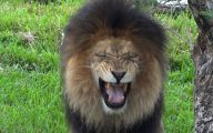 Funny Lions 13 Widescreen Wallpaper