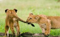Funny Lions 16 Cool Hd Wallpaper