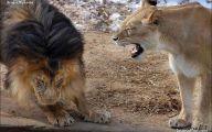 Funny Lions 28 Widescreen Wallpaper