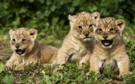 Funny Lions 30 Free Hd Wallpaper