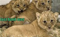 Funny Lions 38 Free Wallpaper