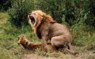 Funny Lions 4 Widescreen Wallpaper