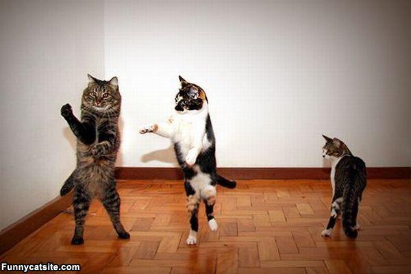 Funny Cats Dancing 4 Free Hd Wallpaper