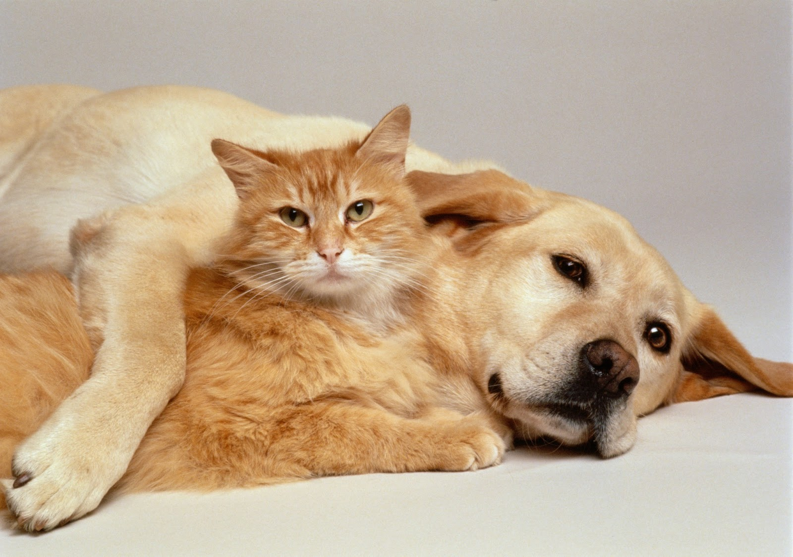 Funny Dogs And Cats Living Together 27 Hd Wallpaper
