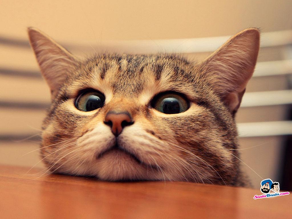 Funny Animals Cats 37 Desktop Background