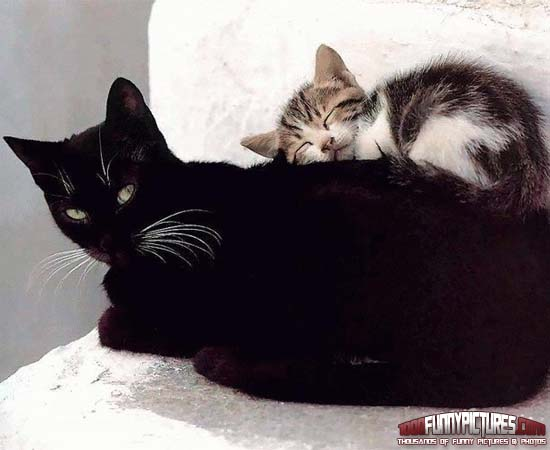 Funny Black Cat Pictures 39 Background
