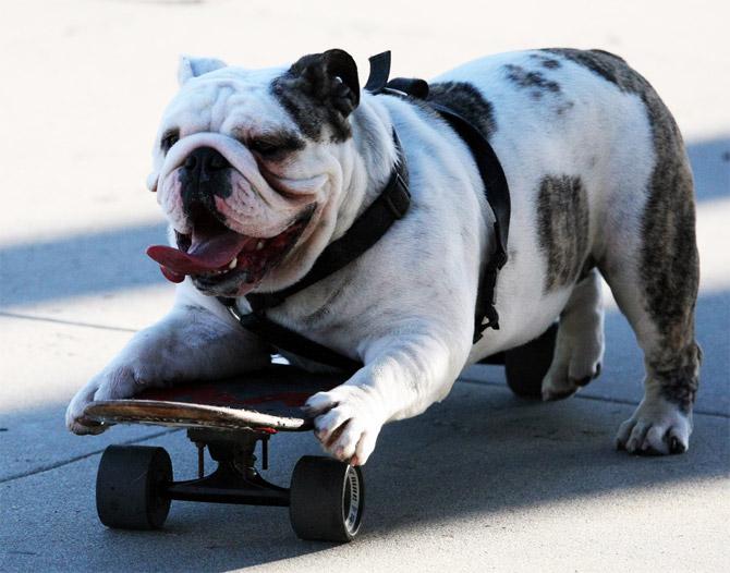 Pics Photos - Dog Bulls Funny Dog Wallpaper