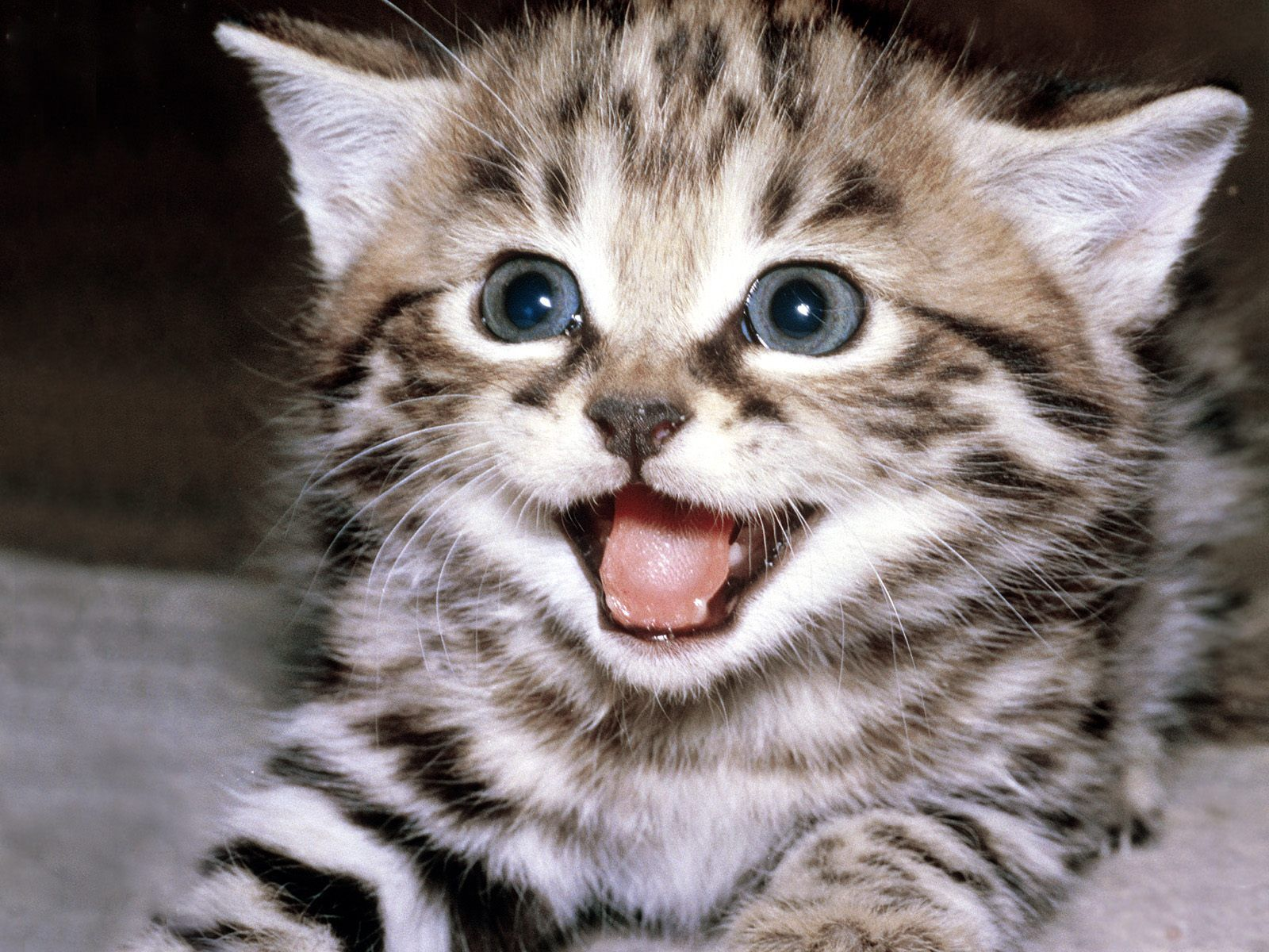 Funny Baby Cats 25 Desktop Background Funnypicture