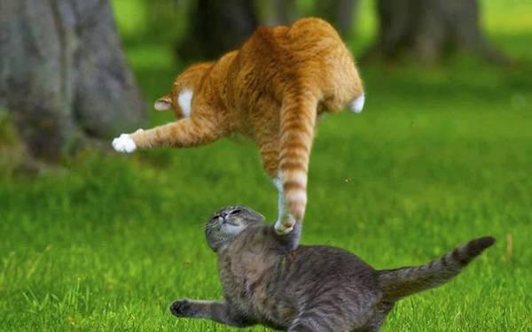 Funny Cat Fight 14 Desktop Wallpaper