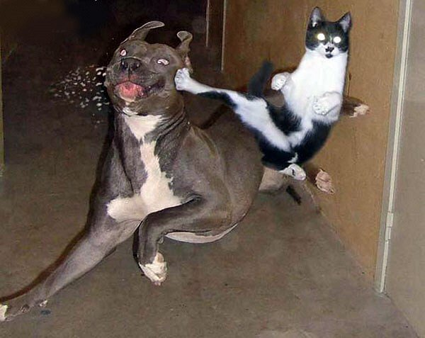 Funny Cat Fight 23 Desktop Wallpaper