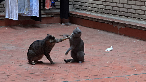 Funny Cat Fight 31 Free Wallpaper