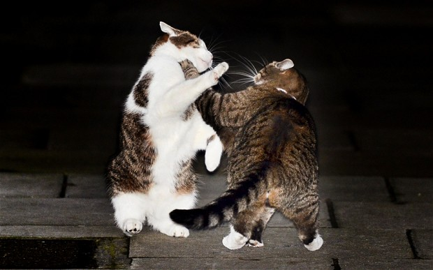 Funny cat fight 38 hd wallpaper funnypicture org
