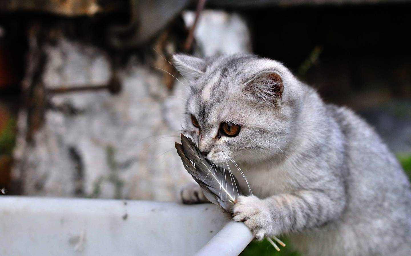 Funny Cat Playing 37 Desktop Background