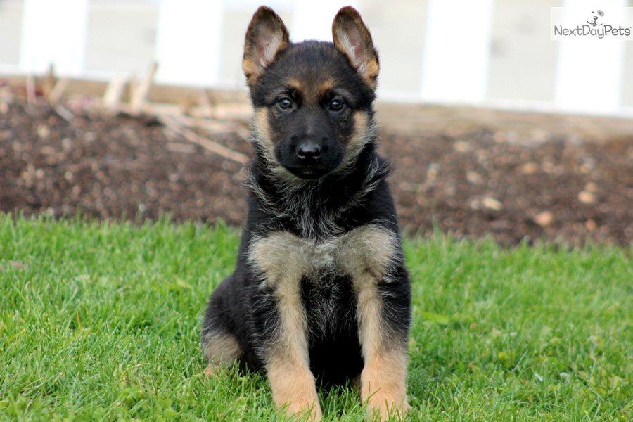 Cute Puppy German Shepherd Names