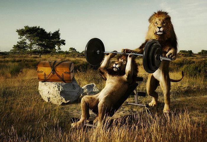 Funny Lions 21 Desktop Background