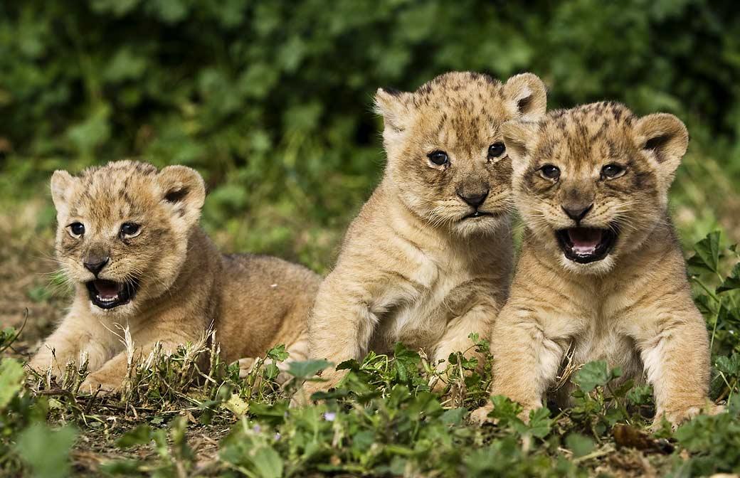 Funny Lions 30 Free Hd Wallpaper