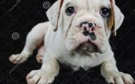 Funny Bull Dog 23 Hd Wallpaper
